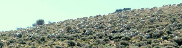Nevada sheep